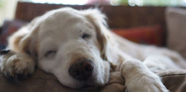 モグワン高齢犬