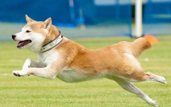 モグワン 柴犬